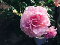Beautiful orange and pink rose Royalty Free Stock Images