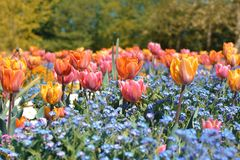 Beautiful orange, pink and yellow tulip in middle of field with blue spring flowers stock photography