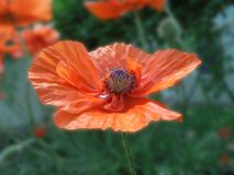 Beautiful orange poppy flower with a box of seeds and stamens close up stock photography
