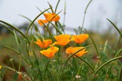 Beautiful orange poppy Royalty Free Stock Photography