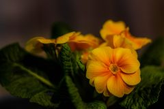 Beautiful orange primula close-up stock photos