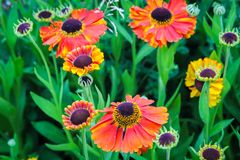 Beautiful, orange, red garden flowers close up. Beautiful, orange, red garden flowers in the summer close up Royalty Free Stock Photo