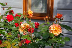 Beautiful orange and red roses in a garden Royalty Free Stock Photos