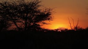 Beautiful orange-red sunset in Africa. View of the silhouettes of the savannah against the sunset stock footage