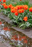 Beautiful orange and red tulips. Are reflected in a puddle of water after a sudden spring storm royalty free stock image
