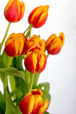 Beautiful orange red tulips on pure white background. Very beautiful red and orange tulips on a pure white background Royalty Free Stock Image