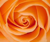 Beautiful orange rose. In closeup stock images
