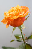 Beautiful orange rose Stock Photo