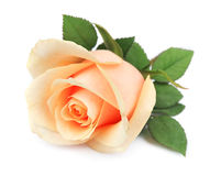 Beautiful orange rose Royalty Free Stock Photo