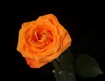 Beautiful orange rose Royalty Free Stock Photos