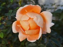 A beautiful orange rose against a background of dark green leaves, a view from above. Close up stock photo