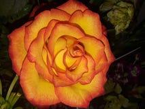 Beautiful orange rose. Blooming orange colored rose flower stock photos