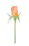Beautiful orange rose bud isolated. Single orange rose bud isolated on white background. Peach rose flower royalty free stock photography