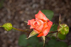 Beautiful orange rose and buds in the garden. Orange rose and buds in the garden and leaves royalty free stock photos
