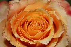 Orange Rose. A beautiful Orange Rose close up royalty free stock photography
