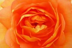 Beautiful orange rose. Closeup, summer, garden, fresh, pink, natural, bud, aroma, floral, color, love, bloom, blossom, symbol, nature, spring, botanical, soft royalty free stock images