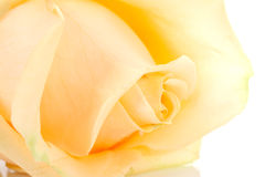 Beautiful orange rose in closeup Royalty Free Stock Photography