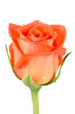 Beautiful orange rose flower Royalty Free Stock Image