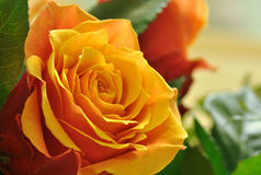 Beautiful orange rose flower close up Stock Image