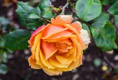 Beautiful special orange rose flower found in Ooty Stock Photos