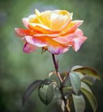 Beautiful orange rose Royalty Free Stock Images