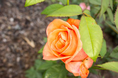 Beautiful orange rose in the garden. Orange rose in the garden and leaves stock photo