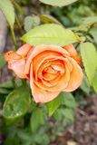 Beautiful orange rose in the garden. Orange rose in the garden and leaves royalty free stock photo