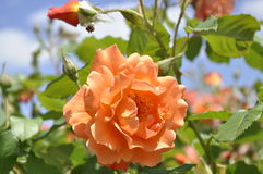 Beautiful orange rose growing in the garden. Beautiful orange rose bloom photo Royalty Free Stock Photo