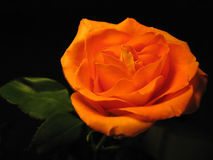 Beautiful orange rose isolated on a black. Background royalty free stock photo