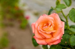 Beautiful orange rose isolated bloom on blurred nature background in the garden close up with copy space on the left side. Side view stock photos