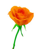 Beautiful orange  rose Stock Photos