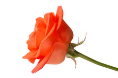 Beautiful orange rose Royalty Free Stock Image