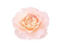 Beautiful orange rose isolated on white. Single orange rose isolated on white background. Peach rose flower royalty free stock photo