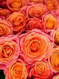 Beautiful orange rose Stock Images