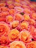 Beautiful orange rose Royalty Free Stock Photography