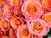 Beautiful orange rose. A lot of beautiful orange roses Stock Image