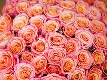 Beautiful orange rose Stock Photos
