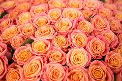 Beautiful orange rose. A lot of beautiful orange roses Stock Images
