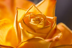 Beautiful orange rose macro Royalty Free Stock Photo