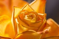 Beautiful orange rose macro Royalty Free Stock Photo