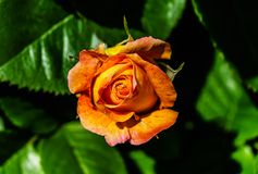 Beautiful orange rose, Macro shot, blurry background stock photography