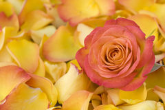 Beautiful orange rose with petals Stock Photo