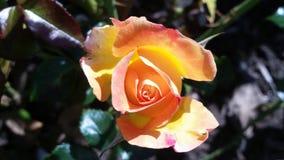 Beautiful Orange Rose. Beautiful Orange Pink Rose  Background Stock Photo