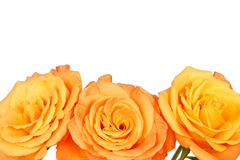 Beautiful orange rose. S flowers on isolated background, over the flower you can write some text Royalty Free Stock Photography