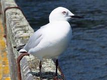 Beautiful sea gull on pier railing Stock Images