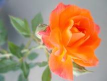 Beautiful orange rose in the spring garden. Splendid and romantic flower Stock Photos