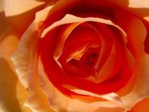 Beautiful orange rose in the sun close up. Beautiful orange rose in the sun royalty free stock photo