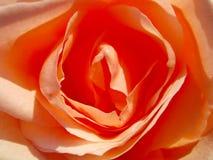 Beautiful orange rose in the sun close up. Beautiful orange rose in the sun stock images