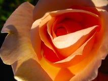Beautiful orange rose in the sun close up. Beautiful orange rose in the sun stock photo