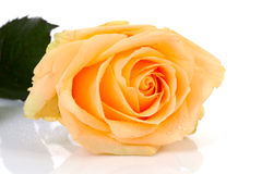 Beautiful orange rose with water drops Stock Photo